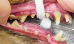 歯石除去前の歯肉炎の犬の口腔内